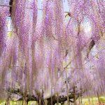 あしかがフラワーパークの奇跡の藤を見に行こう!日本で唯一、世界の夢の旅行先9カ所にランクイン