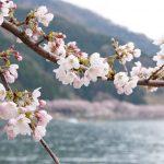 海津大崎はおすすめ絶景観光スポット。琵琶湖八景のうちの一つで桜を愛でる!