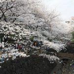 桜の時期におすすめ!北区にある「音無親水公園」について